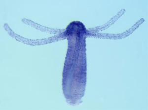 071017-Opsin-Hydra-02