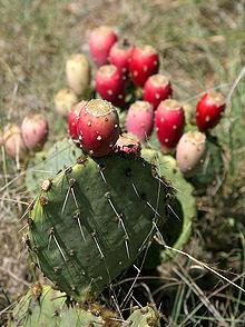 220px-Prickly_Pear_Closeup.jpg