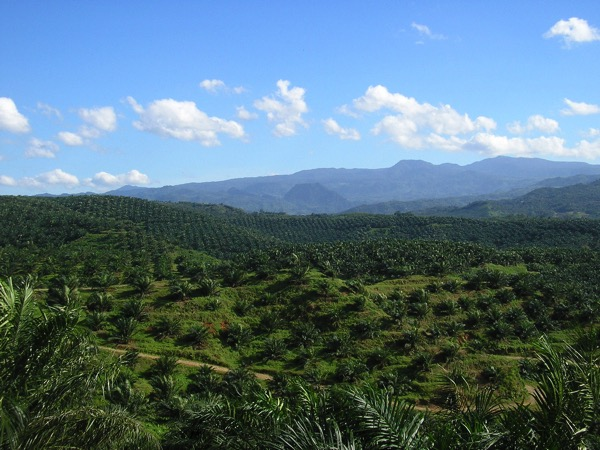 Oil palm plantation in Cigudeg 03