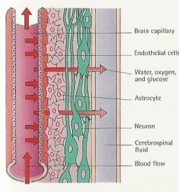 Blood brain barrier1
