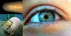 Eye-Evolution