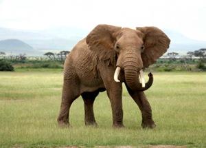 IStock Elefant 22186a