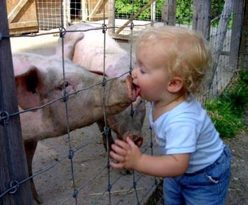 Swine flu pig